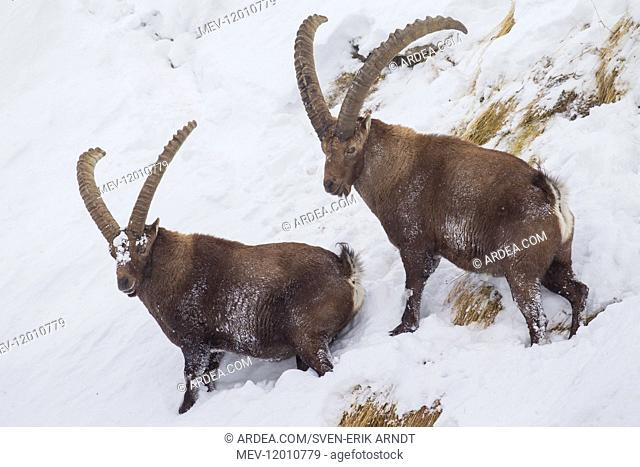 Alpine Ibex - males in snow - Italy