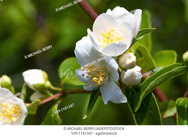 Lewi's Mock-orange (Philadelphus lewisii), USA
