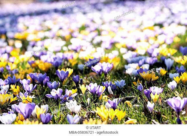 coloured crocus meadow, close-up, in the morning, blue, yellow and white crocuses in a meadow
