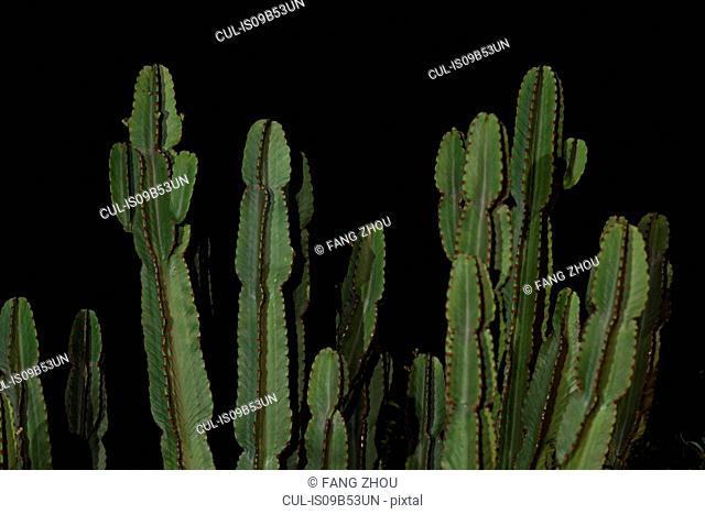 Cactus against black background