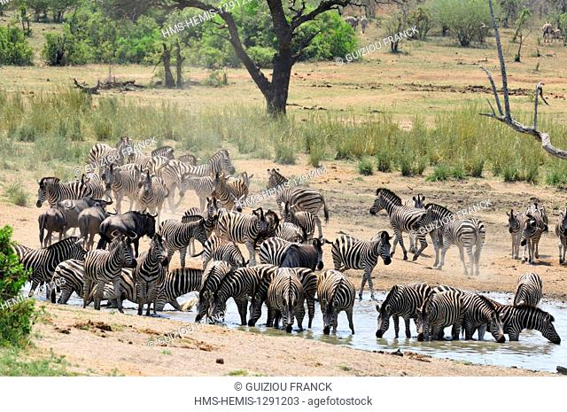 South Africa, Mpumalanga region, the South Kruger National Park, zebras and wildebeest