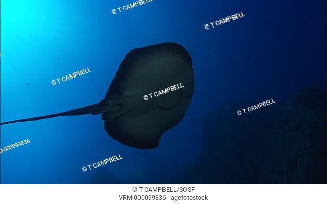 Marbled ray Taeniura meyeni swims over camera. Costa Rica