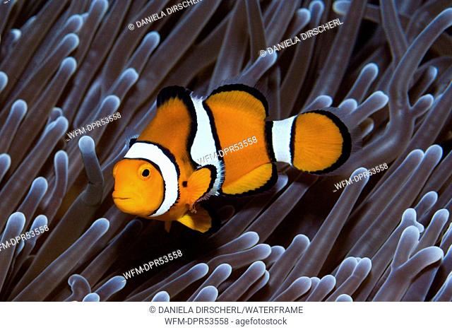 Clown Anemonefish, Amphiprion percula, Florida Islands, Solomon Islands