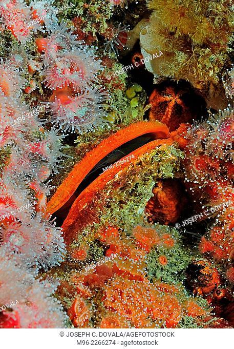 Scallop with strawberry anemones, Anacapa Island, California, USA