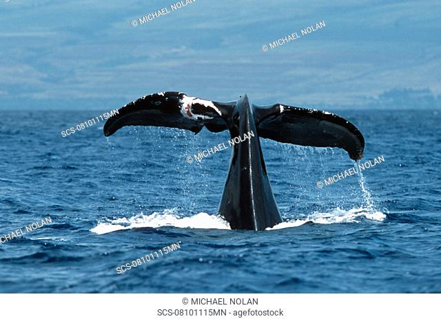 Pacific humpback whale adult female, Megaptera novaeangliae, with wounds/scar on flukes, Maui, Hawaii