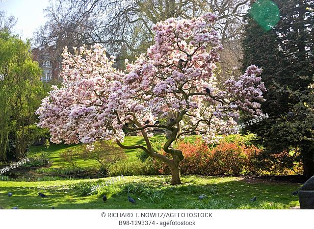 Spring flowers in Hyde Park, London, England
