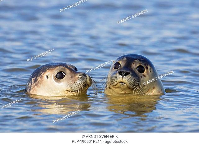 Close up of two young common seals / harbour seals (Phoca vitulina) juveniles swimming in sea