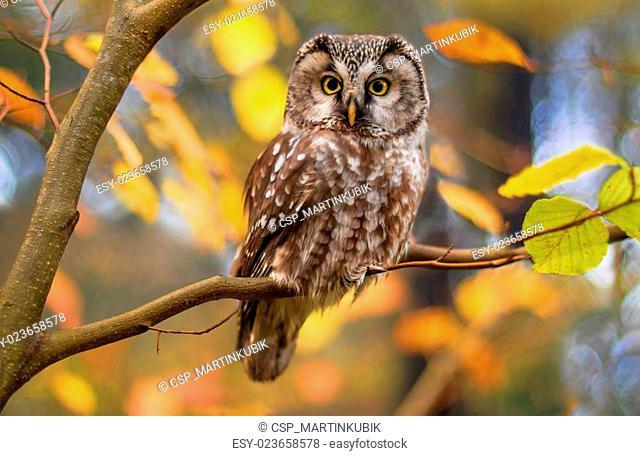boreal owl?in autumn leaves