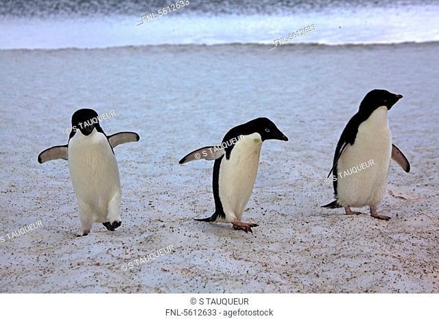 Three Adelie Penguins on icefield, Paulet Island, Antarctica