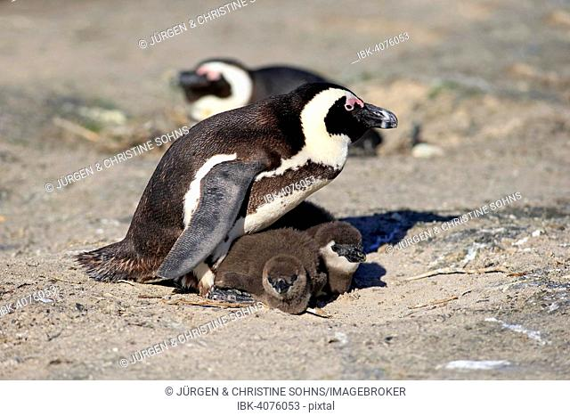 African Penguin (Spheniscus demersus), adult with young in the nest, Boulders Beach, Simon's Town, Western Cape, South Africa