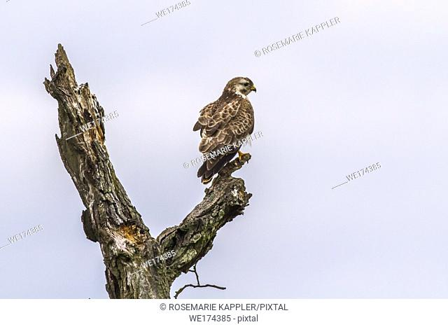 A common buzzard in flight over homburg in saarland