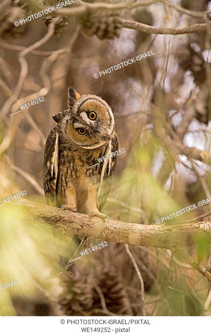 Long-eared Owl (Asio otus) in a tree. This owl inhabits woodland near open country throughout the northern hemisphere. It is strictly nocturnal and feeds mainly...