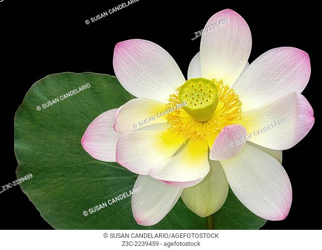 Isolated pink Sacred Lotus flower (Nelumbo Nucifera) with lily pad against a dark background. The pink Sacred Lotus flower is a beautiful aquatic flowering...