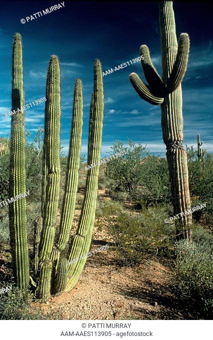 Senita and Saguaro Cacti in the desert
