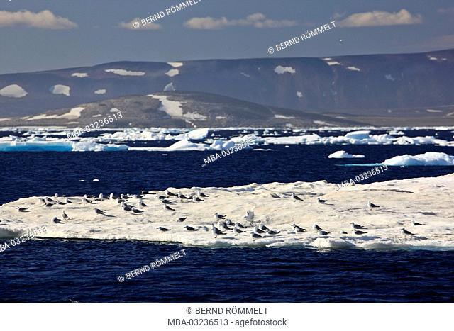 Greenland, East Greenland, Scoresbysund, pack ice, coastal scenery, mountain landscape, kittiwake
