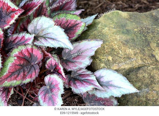 plant with multicolored wrinkled-looking leaves against gold-colored rock, garden in Bloomington, IN