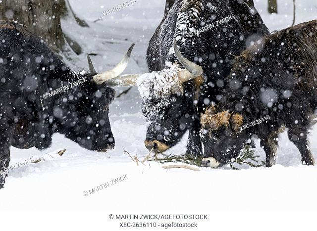 Heck Cattle (Bos primigenius taurus), an attempt to breed back the extinct Aurochs from domestic cattle. Snowstorm in the National Park Bavarian forest...