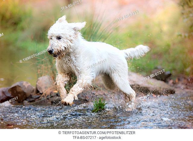 running Labradoodle