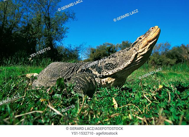 Water Monitor Lizard, varanus salvator, Adult standing on Grass, Smelling, in Flehmen