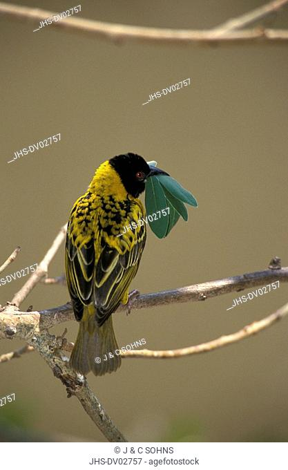 Spottedbacked Weaver, Ploceus cucullatus nigriceps, Kruger Nationalpark, South Africa, Africa, adult male with leave