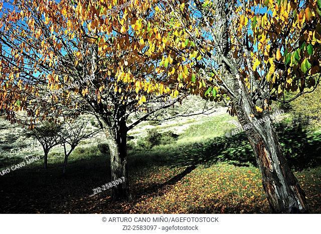 Cherry trees in autumn. The Alto Tajo Natural Park. Huertahernando, Guadalajara, Spain