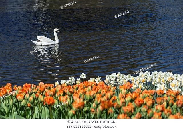 Flower beds of tulips and daffodils, Keukenhof Flower Gardens, Lisse, Netherlands