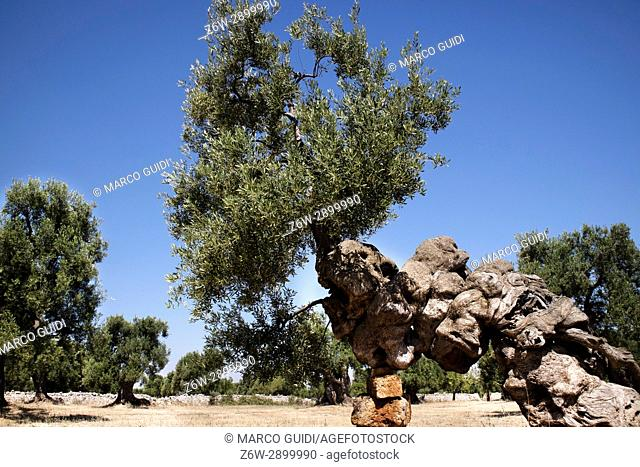 The ancient olive trees of the Puglia Italy region