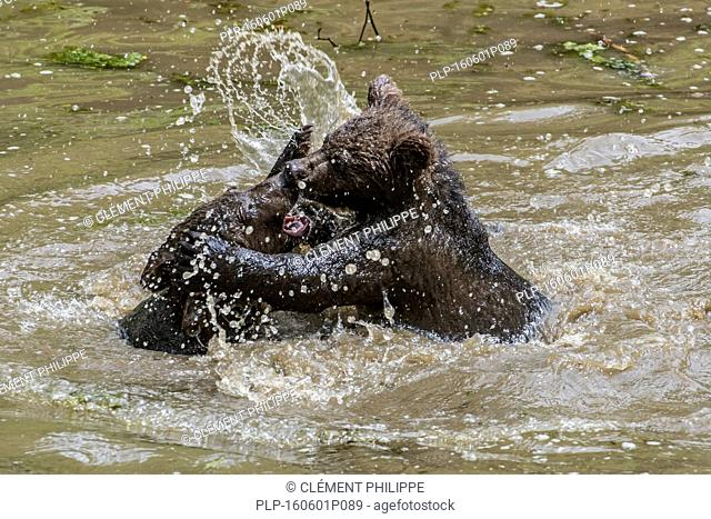 Two playful brown bear (Ursus arctos) cubs having fun by play fighting in water of pond in spring