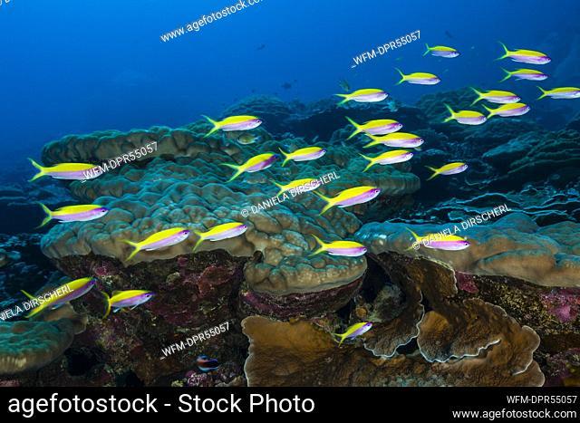 Shoal of Yellowback Anthias, Pseudanthias evansi, Christmas Island, Australia