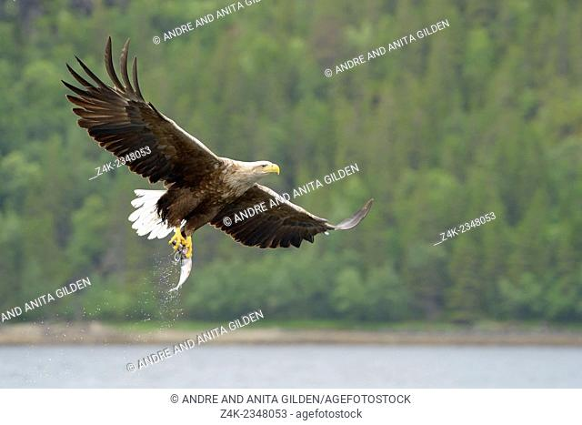 White-tailed Eagle (Haliaeetus albicilla) in flight after catching a fish