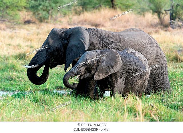 Juvenile elephant (Loxodonta africana) and mother feeding on grass, Khwai concession, Okavango delta, Botswana
