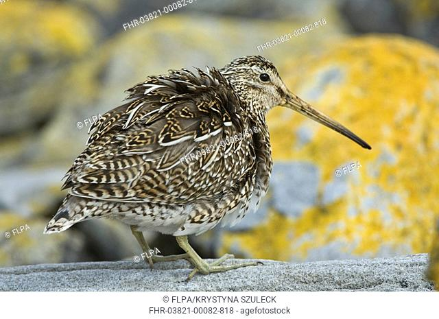 Magellanic Snipe Gallinago paraguaiae magellanica adult, standing on coastal rock, Carcass Island, West Falklands, december