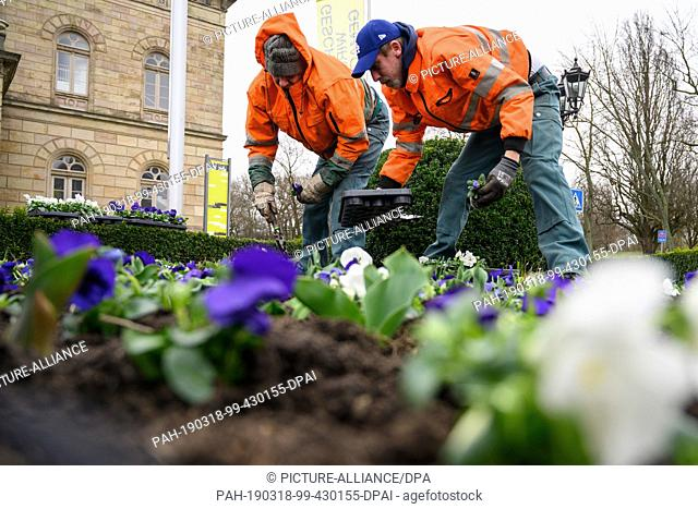 12 March 2019, Lower Saxony, Braunschweig: Two gardeners from the city green department of Braunschweig plant white and purple pansies in front of the...