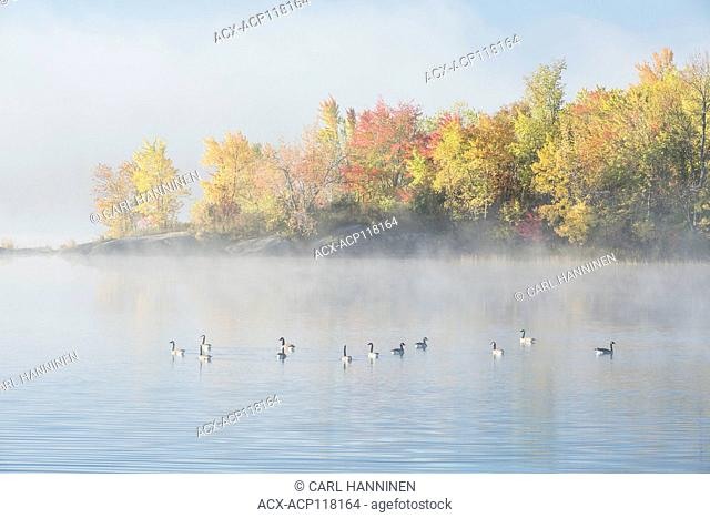Canada Geese on foggy autumn morning Vermilion River, Whitefish, City of Greater Sudbury, Ontario