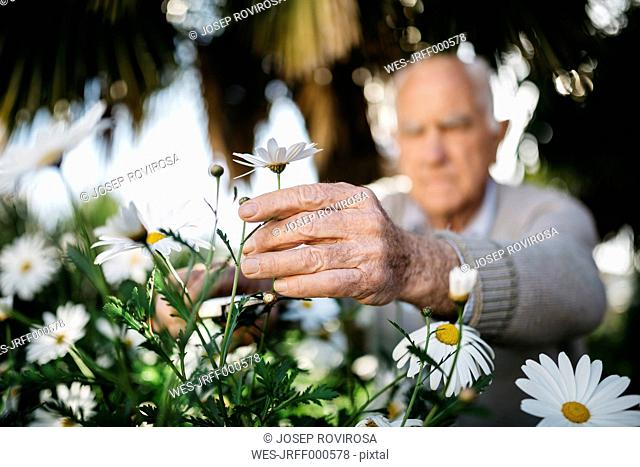 Senior man's hand picking flower in the garden