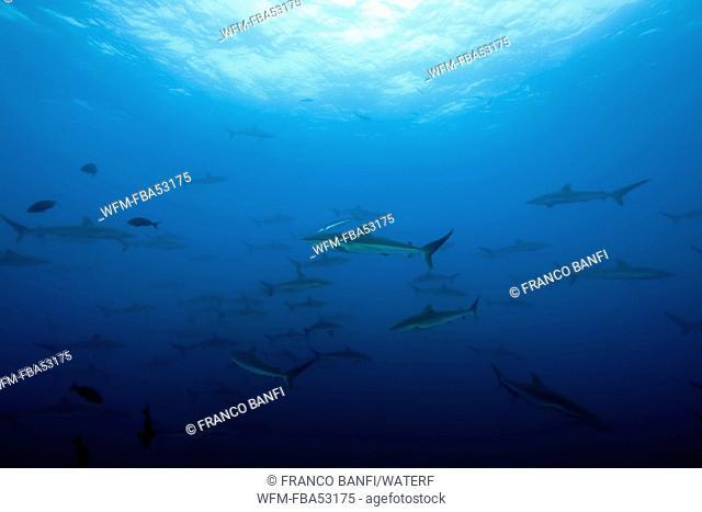 Shoal of Silky Sharks, Carcharhinus valciformis, Malpelo, East Pacific Ocean, Colombia