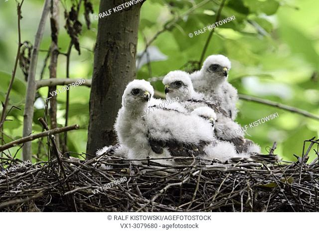Sparrowhawk ( Accipiter nisus ), cute moulting chicks, hatchlings resting, sitting, waiting in nest, eyrie in a deciduous tree, wildlife, Europe