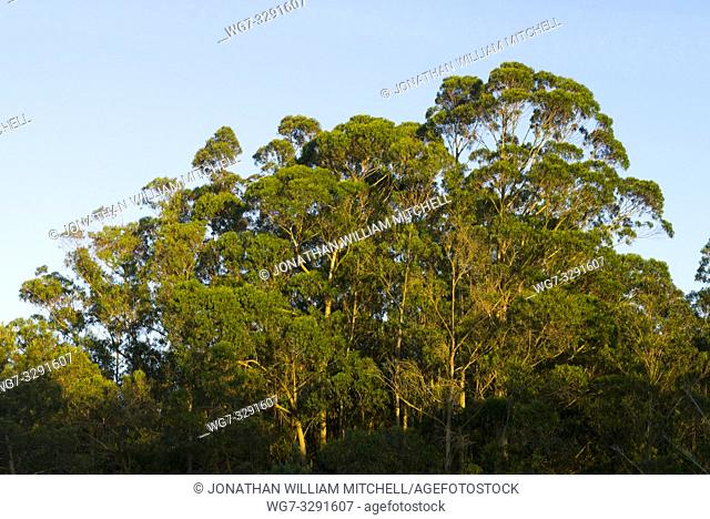 Eucalyptus trees ( Eucalyptus globulus ) growing on farmland near Monte Mendo in Estremadura, Portugal