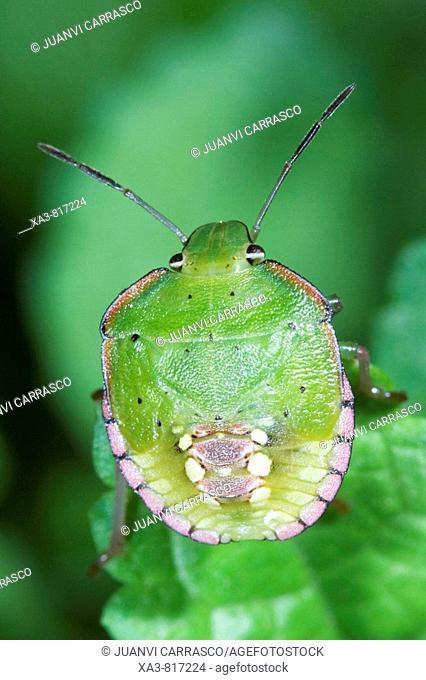 Southern Green Stink Bug Nezara viridula Nymph