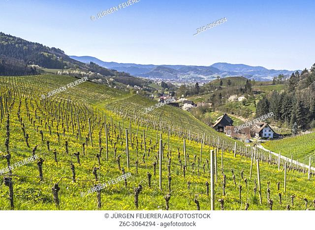 vineyard at the foothills of the Black Forest in the spring, town Oberkirch, Germany, district Ringelbach, Ortenau region, territory Baden