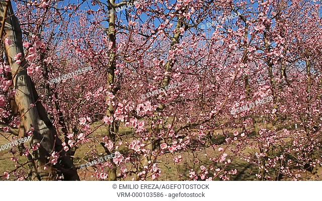 Nectarine tree flowers. Lleida, Catalonia, Spain