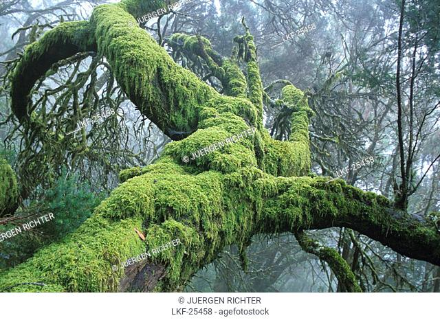 Laurel forest, Bosque del Cedro, National park Garajonay, La Gomera, Canary Islands, Spain