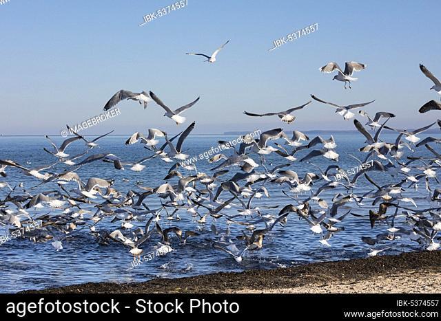 Seagulls, Haffkrug, Scharbeutz, Baltic Sea, Lübeck Bay, Schleswig-Holstein, Germany, Europe