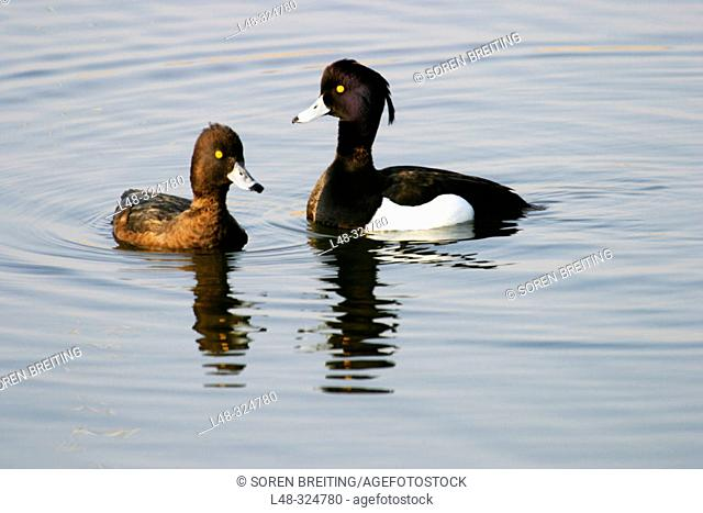 A pair of Tufted Duck (Aythya fuligula), male courting female before mating, in lake in Denmark