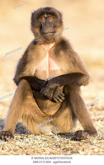 Africa, Ethiopia, Rift Valley, Debre Libanos, Gelada or Gelada baboon (Theropithecus gelada), young femalein the evening at the edge of the cliff before...
