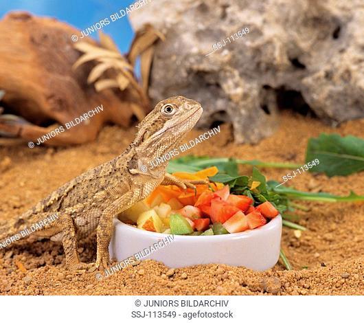 Black Soil Bearded Dragon at feeding bowl / Pogona henrylawsoni
