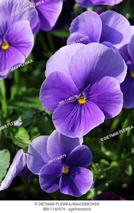 Pansies (Viola), purple