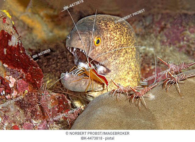 Yellow-edged moray (Gymnothorax flavimarginatus) with camel shrimp (Rhynchocinetes durbanensis) and Pacific cleaner shrimp (Lysmata amboinensis) in coral reef