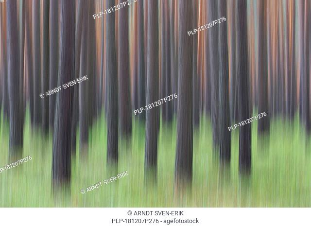 Abstract image of motion blurred Scots Pine (Pinus sylvestris) tree trunks in coniferous forest