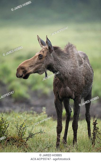 Moose, Alces alces, Rocky Mountains, Alberta, Canada